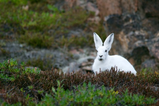 Mountain hare IELTS PTE.jpg